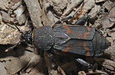 Diamesus osculans (Vigors, 1825) - adult