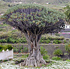 Dragon tree, Dracaena draco