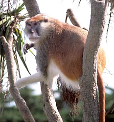Patas monkey, red guenon