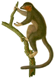 drawing of a  lemur