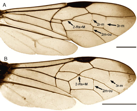 wing venation for Aulacidae: A) Aulacus B) Pristaulacus