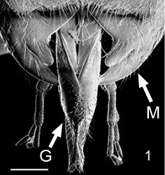 Fig. 1 mandibles