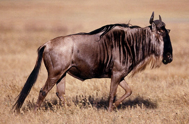 White-bearded Gnu or Wildebeest