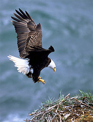 Bald eagle draws wings back as it comes into the nest for a landing