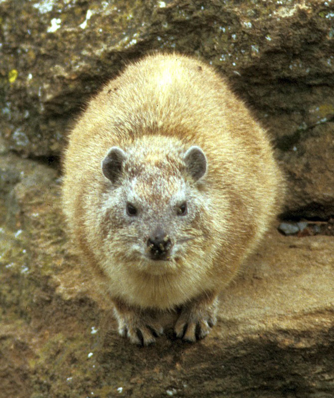 http://tolweb.org/tree/ToLimages/Heterohyrax_brucei1428071.jpg