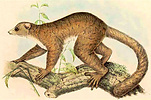 drawing of a sportive lemur