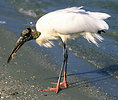 Wood stork feeding on the shore