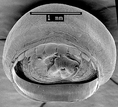 SEM_photograph_of_arm_III_sucker.