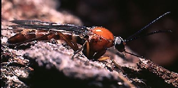 an anisopodid fly