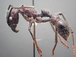 Hormiga bala que mata en 24 horas