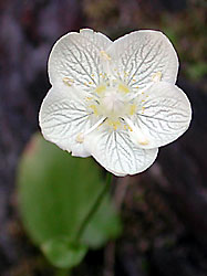 California Grass-of-Parnassus, Parnassia californica