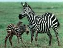 Common or Plains Zebra (Equus burchelli) with newborn foal, Ngorongoro Crater