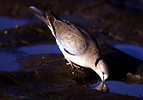 African ring-necked dove (Streptopelia capicola) drinking, Serengeti