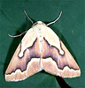 habitus of a geometrid moth