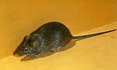 The hispid cotton rat