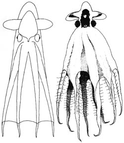 Stauroteuthis