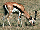 Thomson's gazelle (Gazella thomsoni), male grazing, Serengeti NP