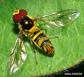 Hoverfly tolweborgtreeToLimagesToxomerusmarginatus1366