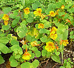 Indian cress, Tropaeolum minus
