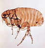 Xenopsylla Cheopis Life Cycle Siphonaptera