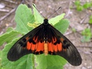 acraea perenna butterfly