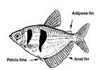 Gymnocorymbus ternetzi, the black tetra