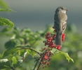 alder flycatcher on elderberry branch