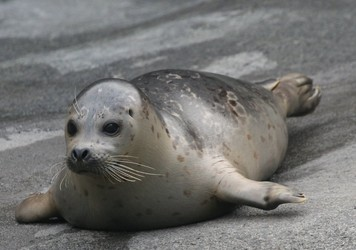 captive harbor seal pup