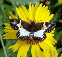 Hesperiidae-Butterfly