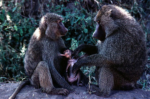 A male baboon (Papio anubis) grooms an infant suckling from its mother
