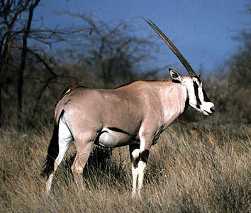 Beisa Oryx (Oryx gazella) and oxpecker in Samburu Reserve, Kenya