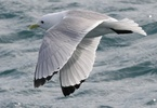 black legged kittewake