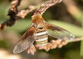 An Australian bee fly