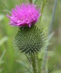 invasive bull thistle