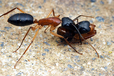 Camponotus nigriceps workers performing social carrying
