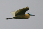 capped heron in flight