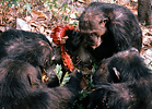 Chimpanzees (Pan troglodytes) eating meat