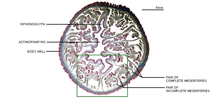 Metridium cross section