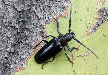 Derobrachus Geminatus Palo Verde Borer