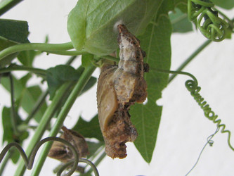 Pupa of Dione moneta