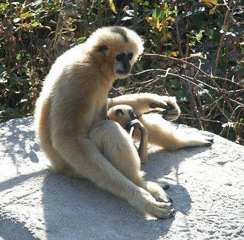 Gibbon Tale