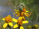 Goldenrod crab spider (Misumena vatia) watching bee, Arizona