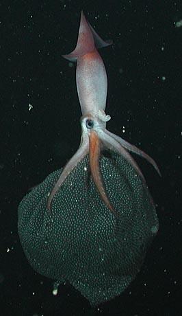 Cephalopod-Friday: Die Kalmar-Kinderstube in der Tiefsee