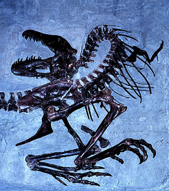 Nearly complete skeleton of a subadult Gorgosaurus libratus