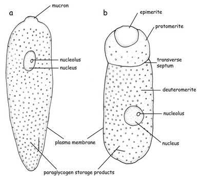 Syzygy occurs during asexual reproduction