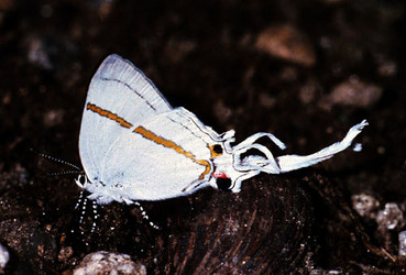 Hairstreak butterfly, Tanzania