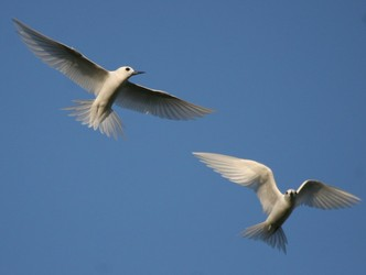 white or fairy terns hovering