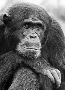 Chimpanzees (Pan troglodytes) adult male