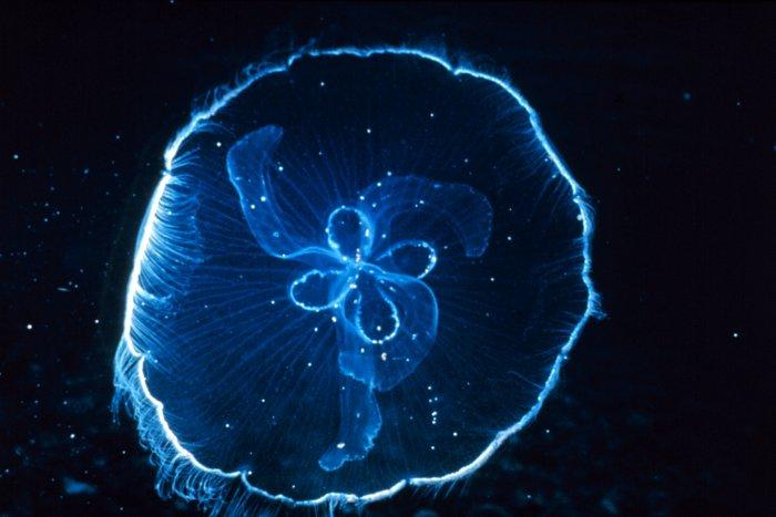 Aurelia aurita, moon jellyfish. http://www.photolib.noaa.gov/reef ...