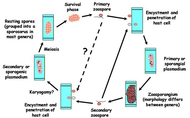 Malaria Life Cycle Diagram Diagram of Life Cycle of a